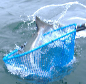 Image result for Salmon being netted